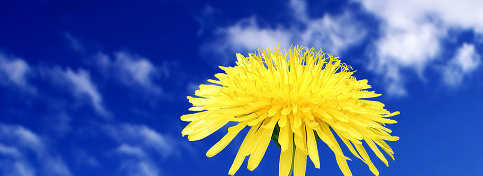 5317 Dandelion flower slider